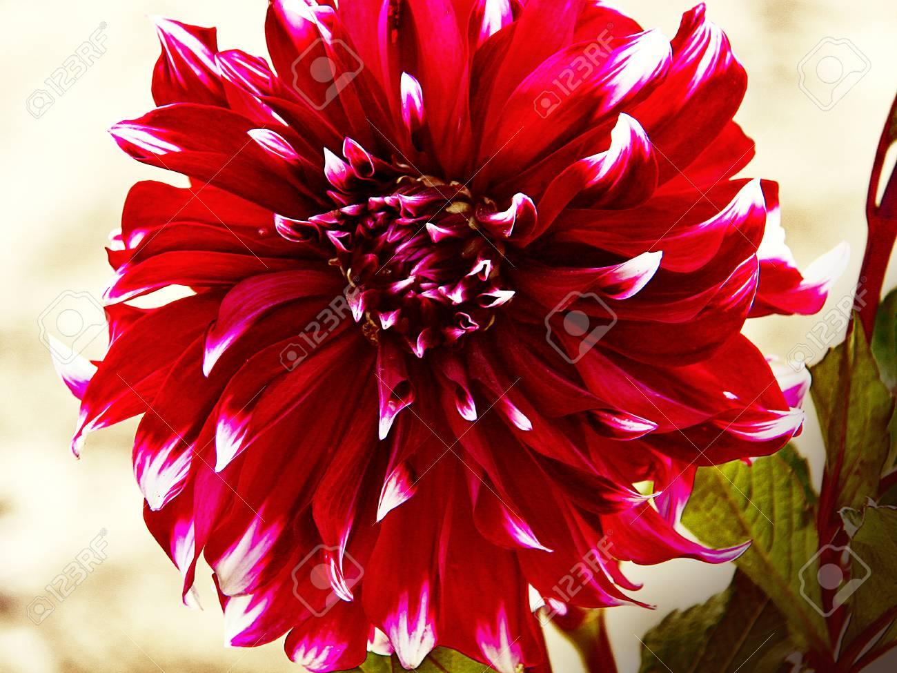Beautiful variegated dahlia flower red petals with white tips beautiful variegated dahlia flower red petals with white tips against a blurred background stock photo mightylinksfo