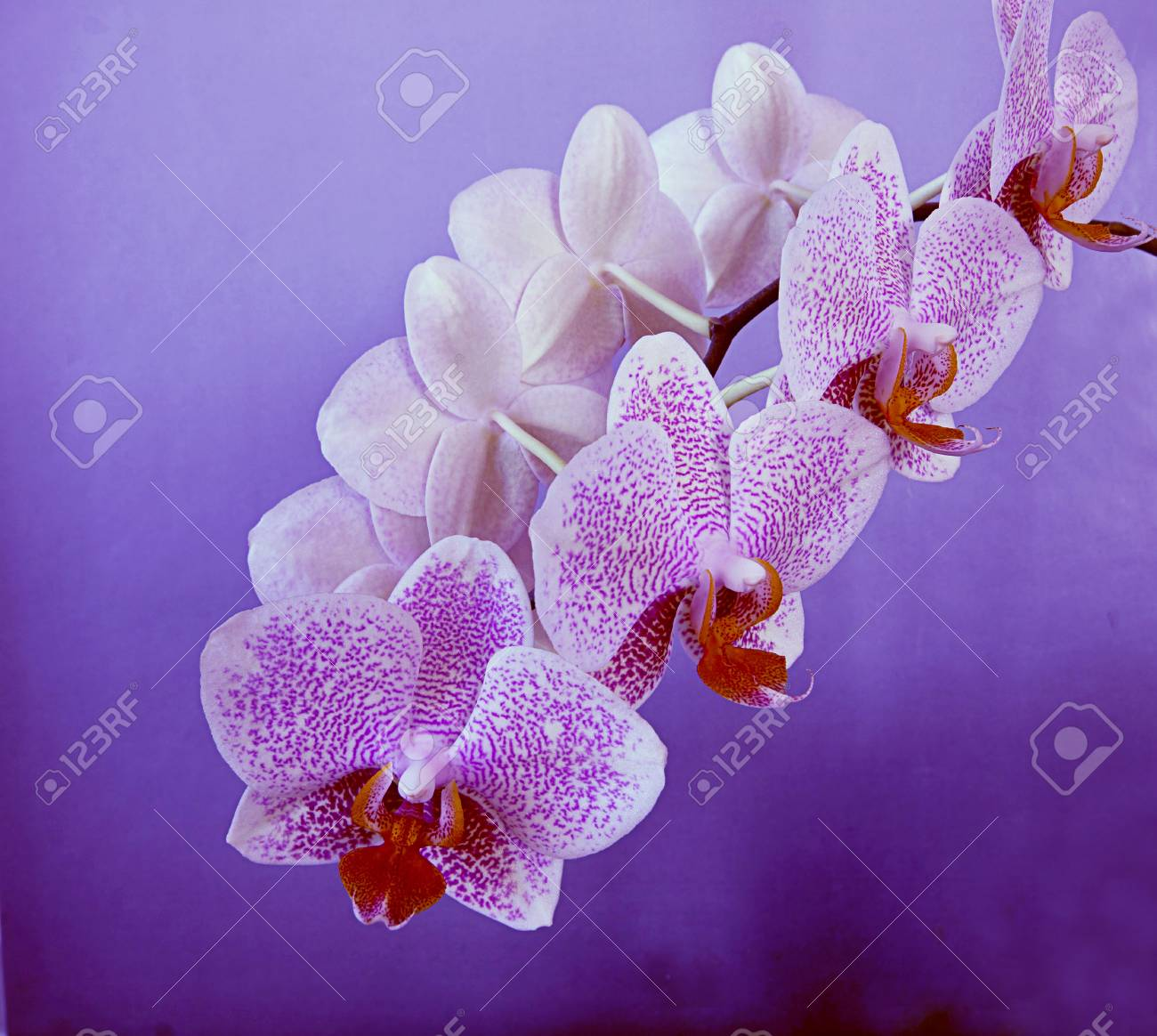 A beautiful bloomy branch of Phalaenopsis orchid on a purple