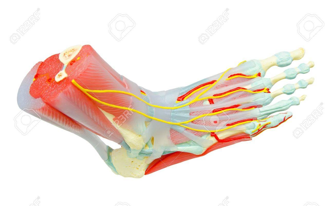 Los Músculos Del Pie Humano Anatomía Modelo Para Estudiar Medicina ...