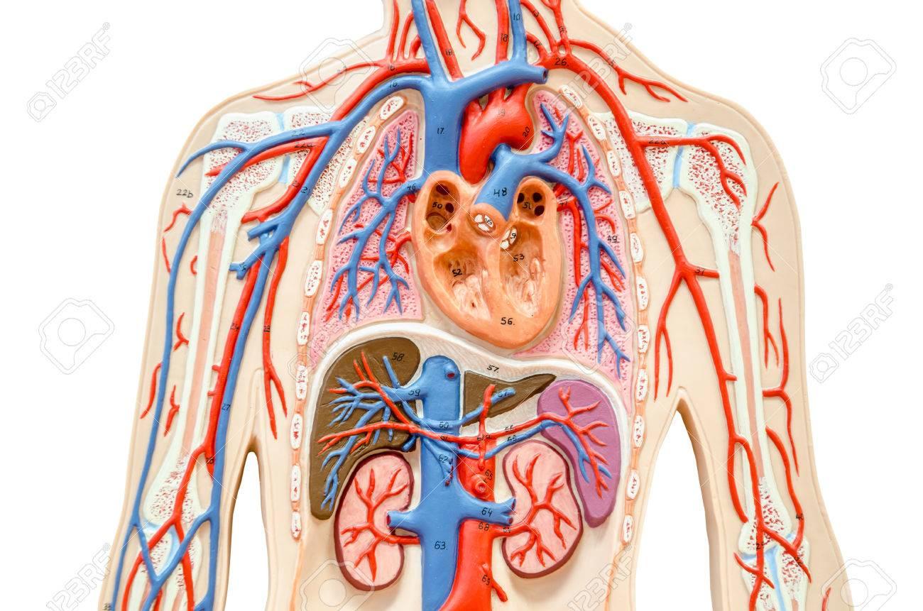 Niedlich Niere Anatomie Modell Ideen - Physiologie Von Menschlichen ...