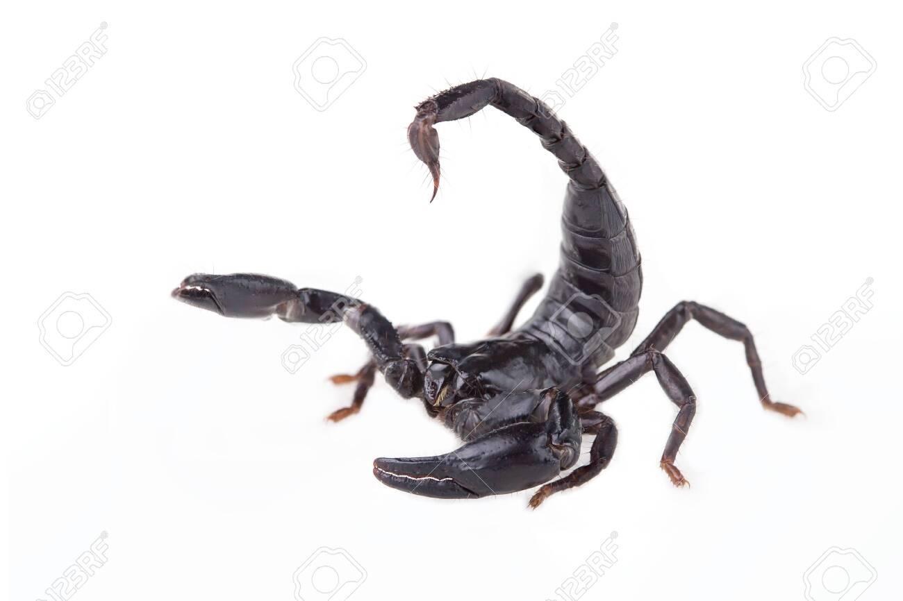 Emperor Scorpion, Pandinus imperator, of white background  Images