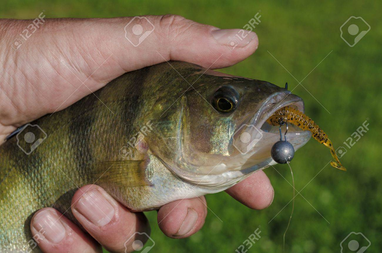Perch on a spinning jig on the edible gum in the hands of the