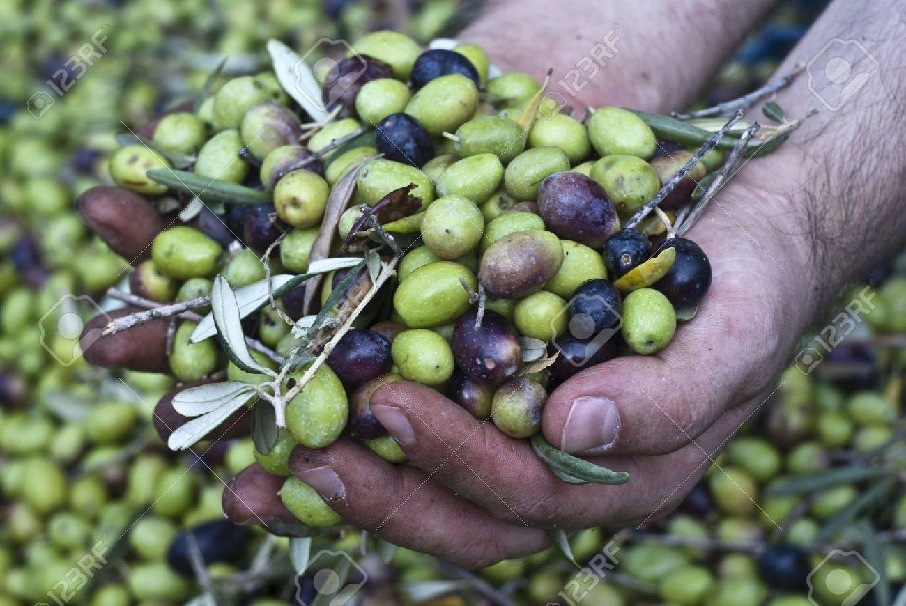 queste mani sono il controllo dei harvest olives raccolta delle archivio fotografico queste mani sono il controllo dei harvest olives raccolta delle olive in sicilia italia