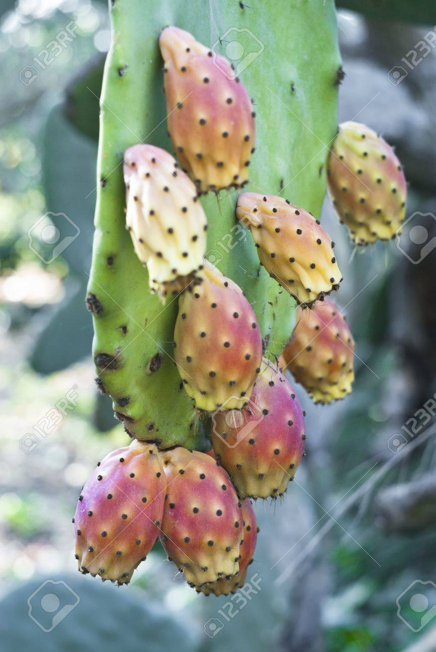 Cactus fruit, prickly pears in sicilian country Stock Photo - 18995209