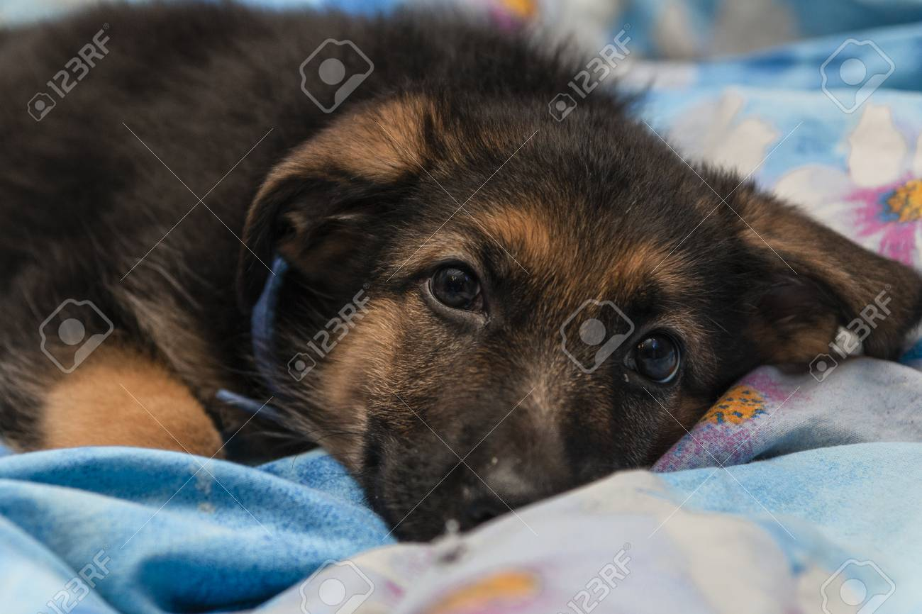 Cute German Shepherd Puppy In The House Stock Photo Picture And Royalty Free Image Image 117855749