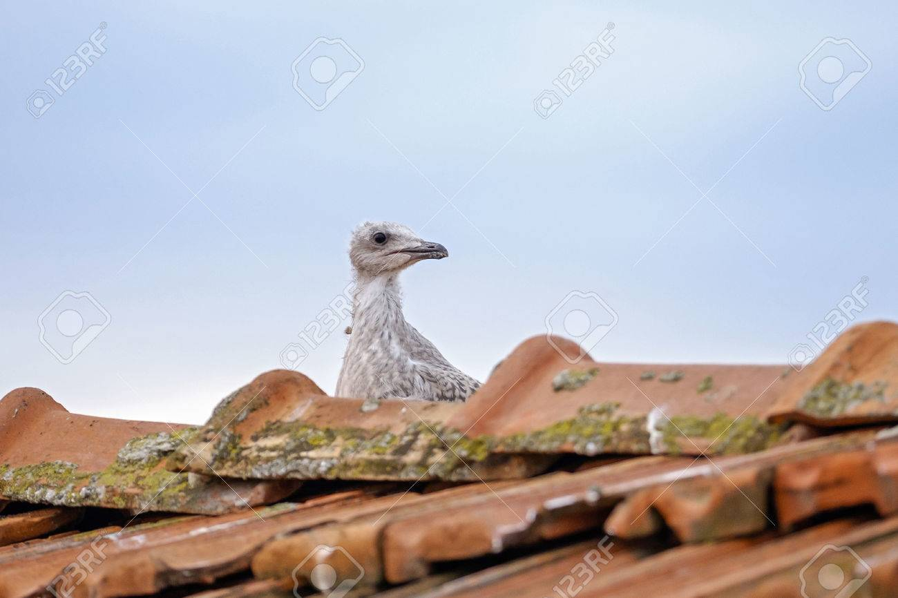 Portrait of baby seagull on the roof 2