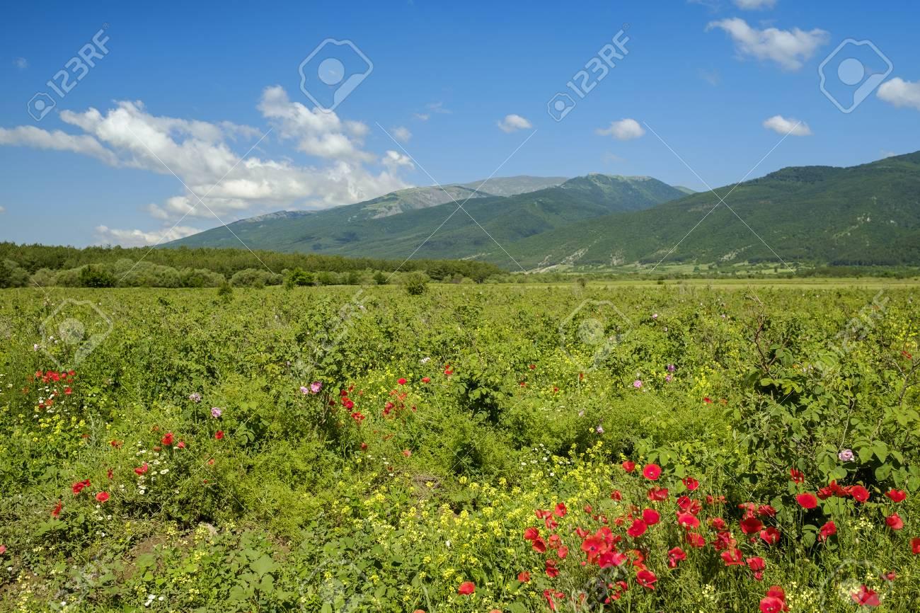 ブルガリア山 1 のバラの谷 ロイ...