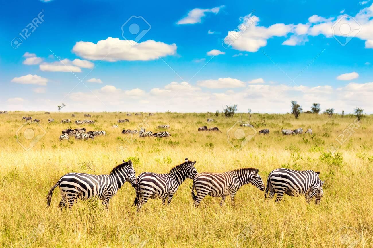 African landscape. Zebra in african savannah in Masai Mara National park. Kenya, Africa - 139669179