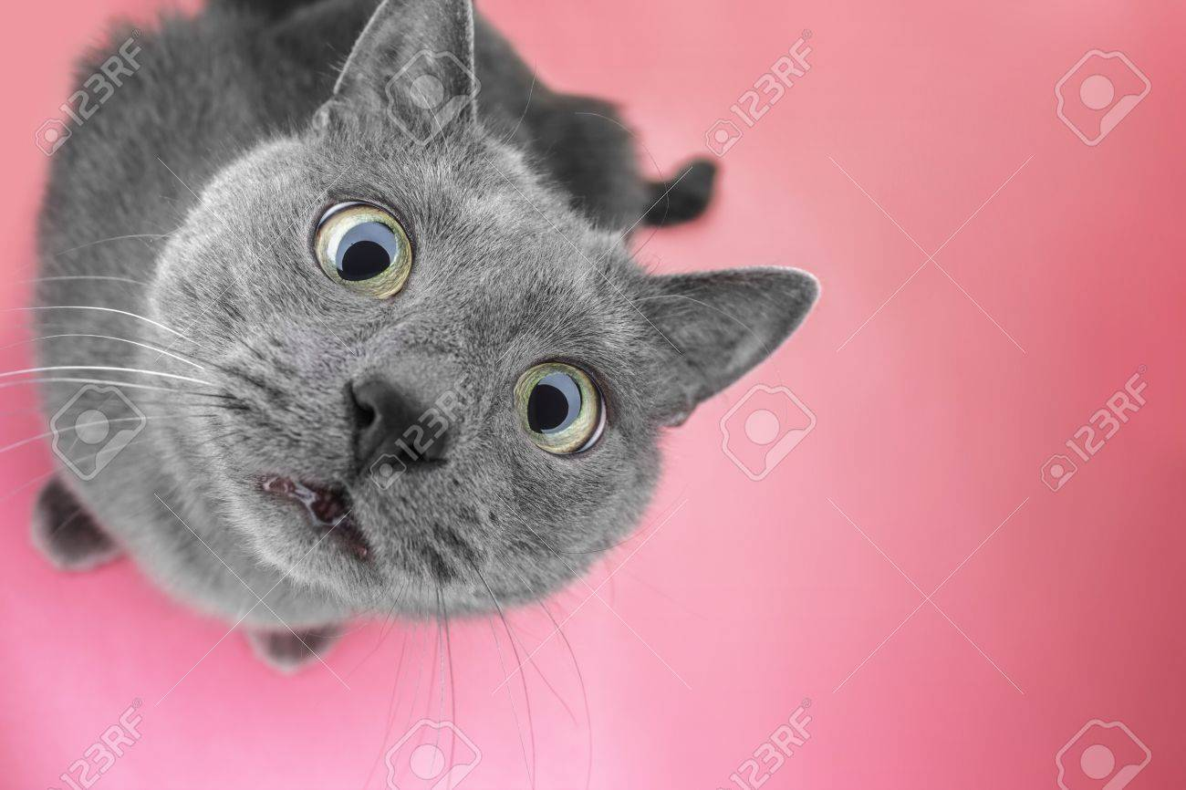 grey cat sitting on the pink background looking at camera - 56781783