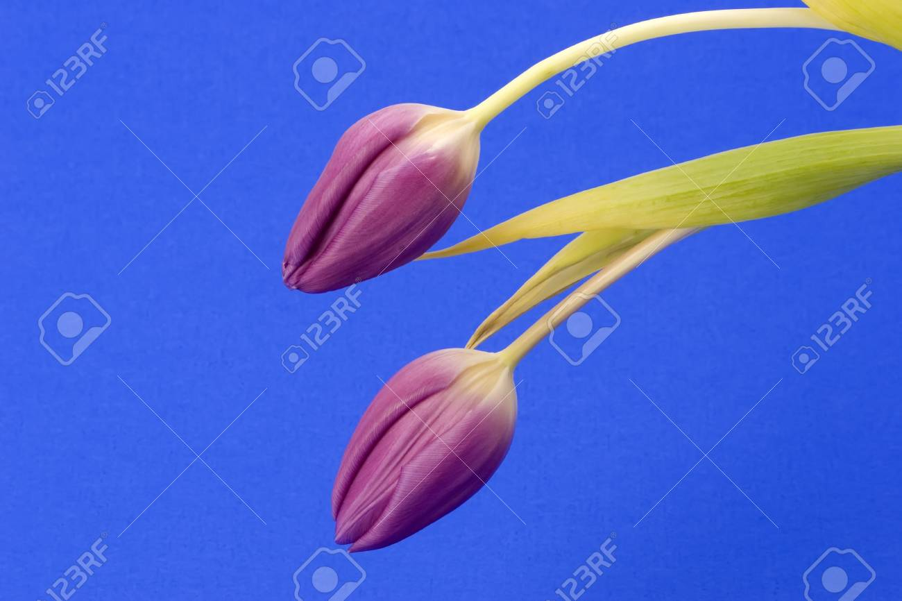 Close up of Tulips against a plain background Stock Photo - 716717