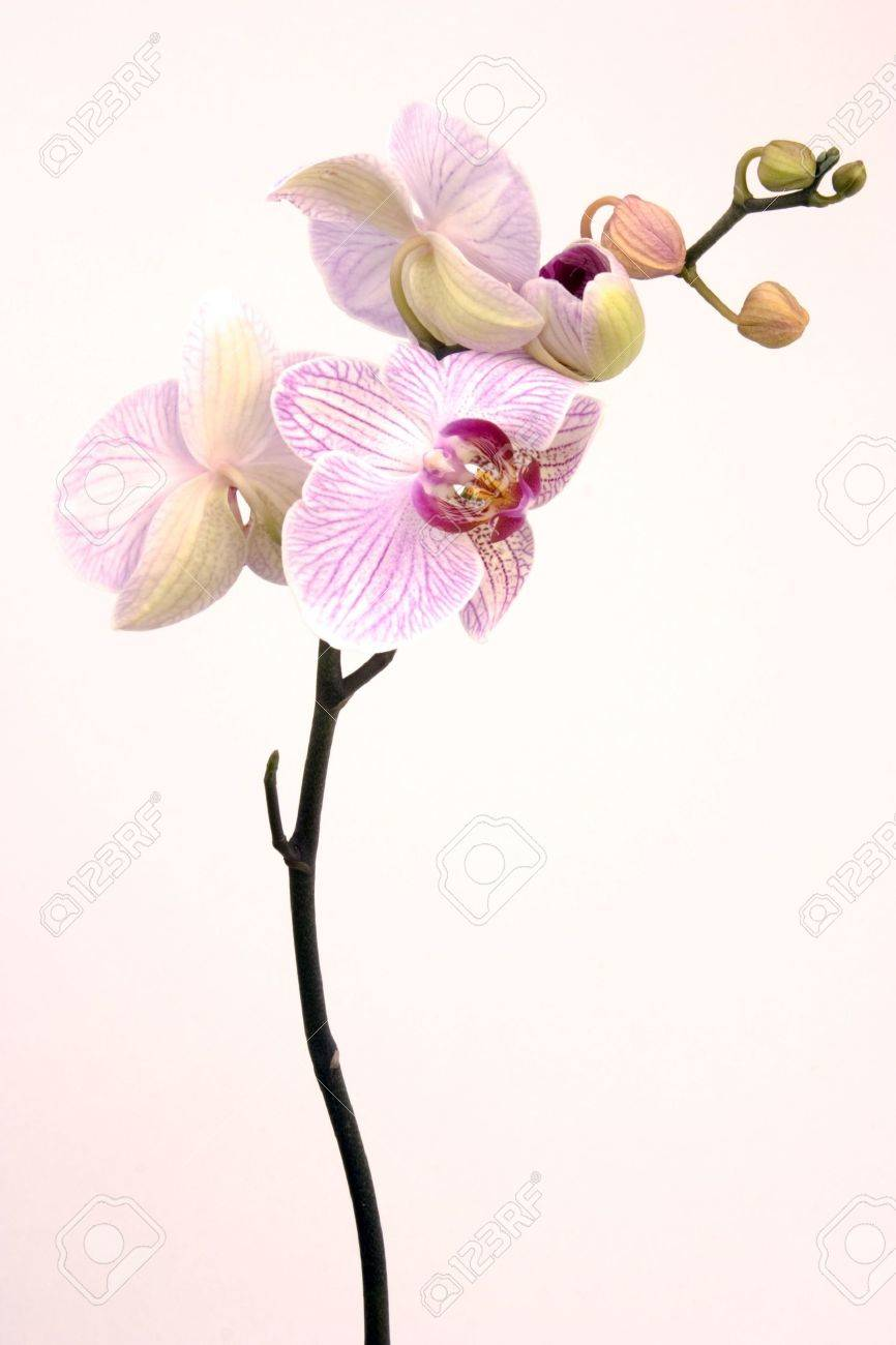 A pink orchid set against a plain background Stock Photo - 827667
