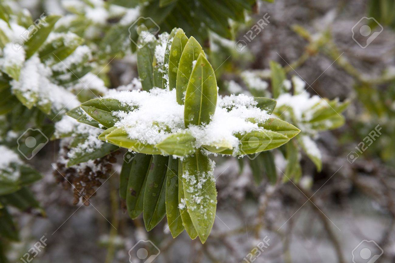 Snow laying on plants and bushes during winter Stock Photo - 6080943