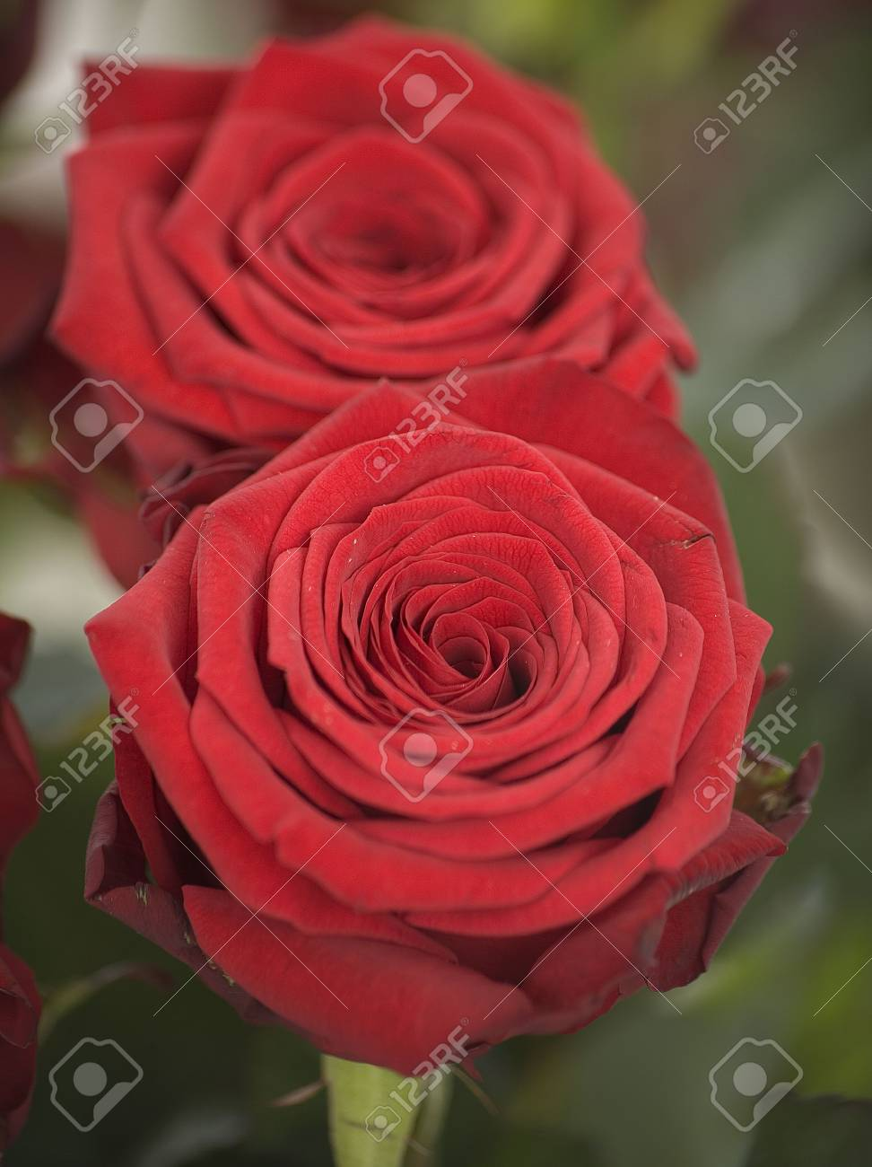 A close up of a Red Rose Stock Photo - 6080988