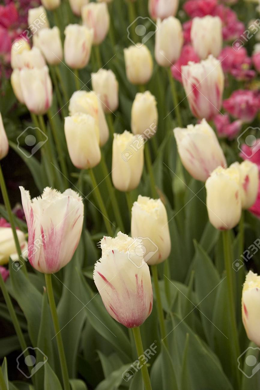 Vibrant coloured Tulip flowers in seasonal bloom. Stock Photo - 6150664
