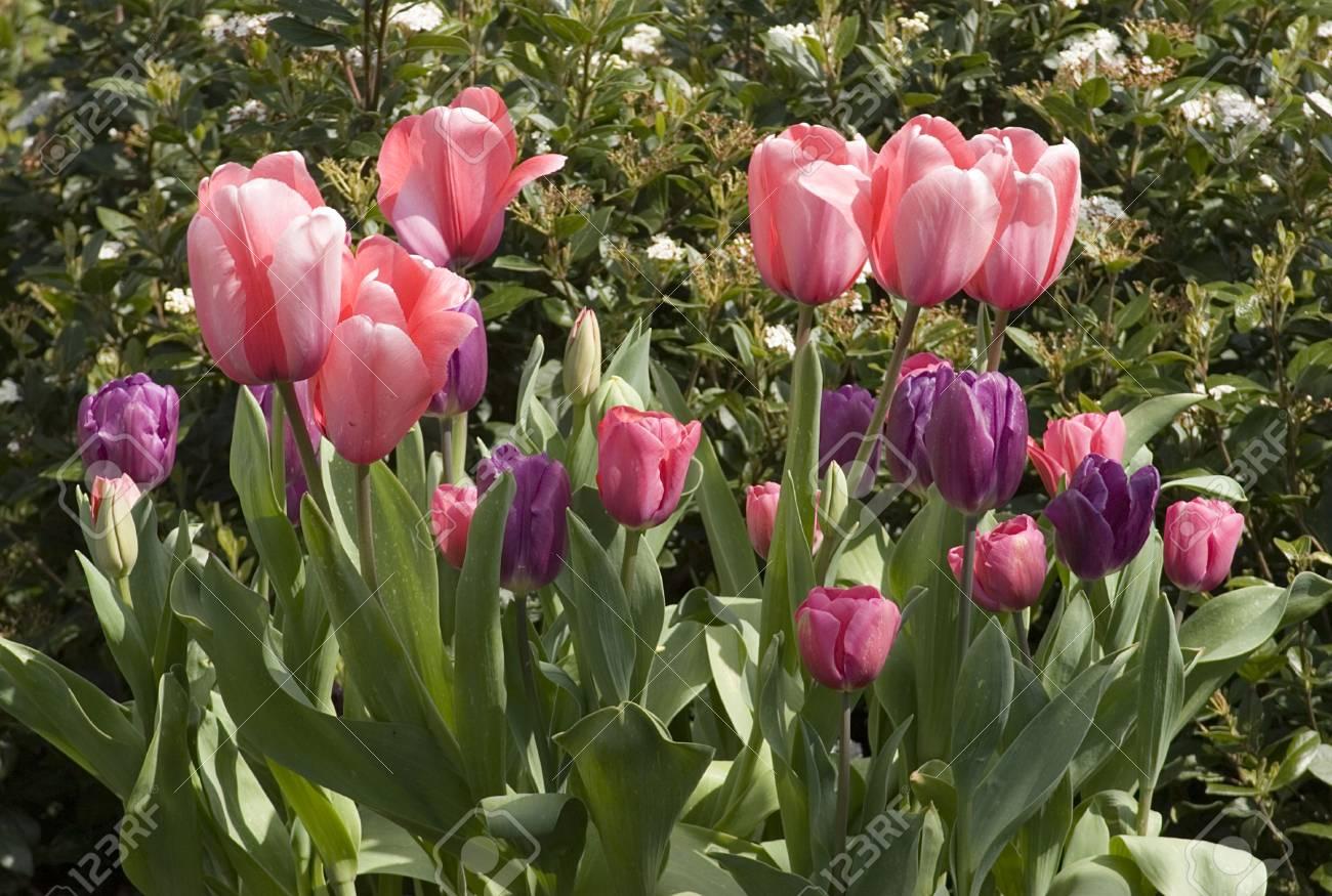 Vibrant coloured Tulip flowers in seasonal bloom. Stock Photo - 6150667