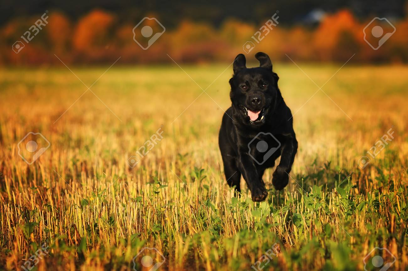 Black dog breed Labrador running fast through a field in summer - 57557544