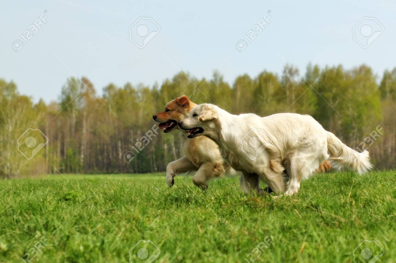 two dogs Golden Retriever fun run in the summer on the nature of each other - 57507899