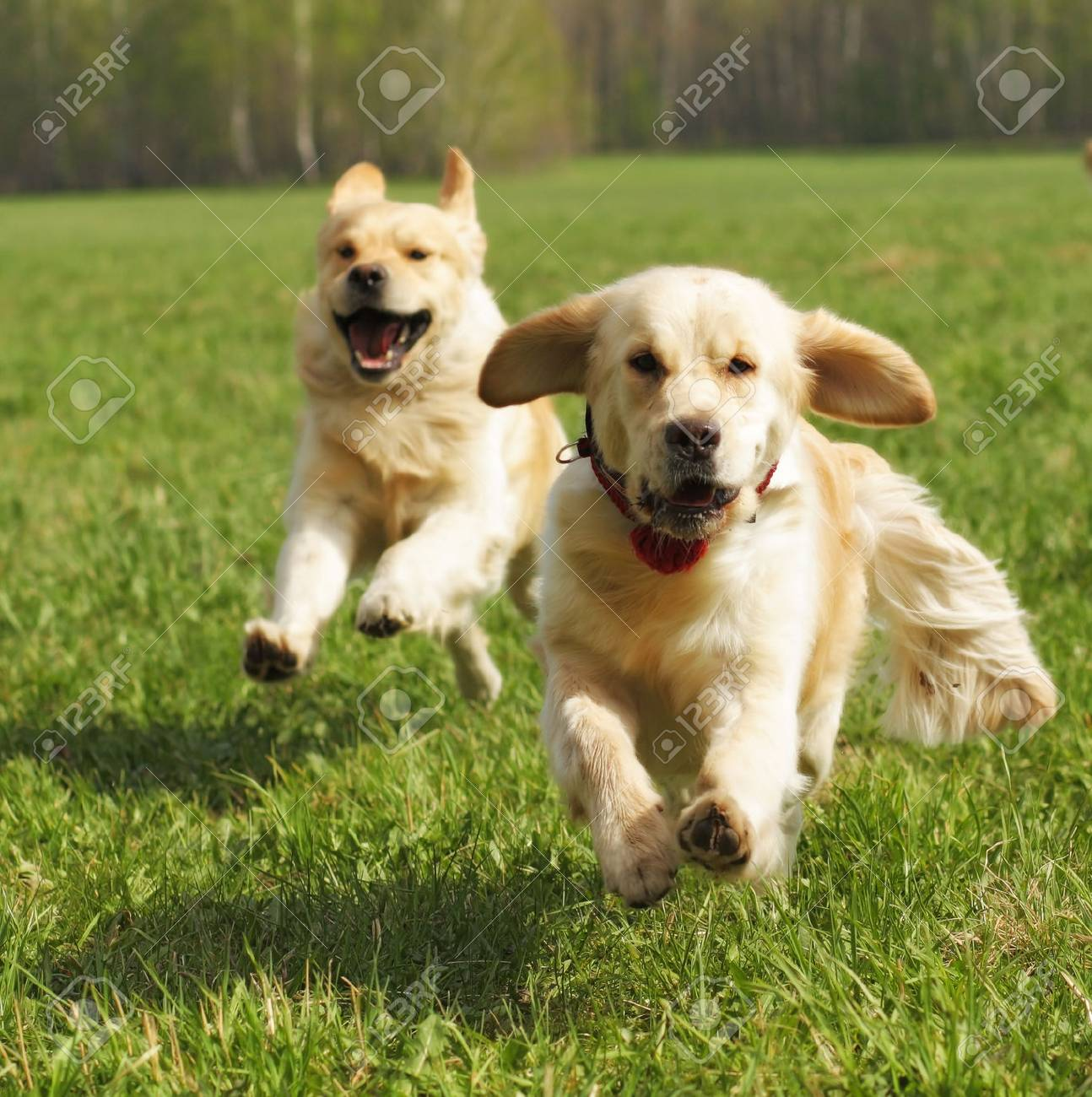 two dogs Golden Retriever fun run in the summer on the nature of each other - 57507683