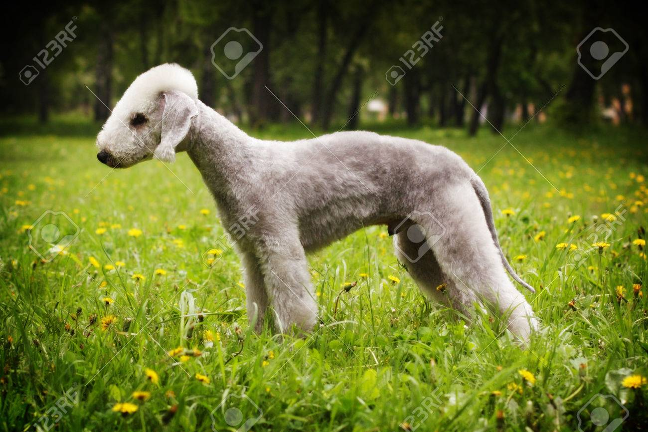 Dog Bedlington Terrier standing in show position in the summer in the Park, side view, male - 59891995