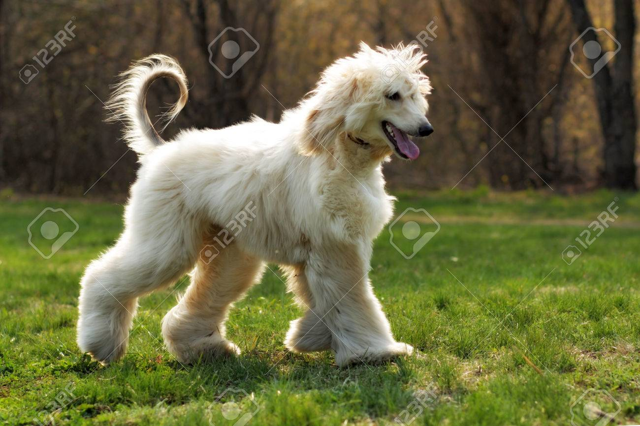 beautiful shaggy dog breed Afghan in the summer frolicking on the grass, running and jumping in the evening sun - 60111610