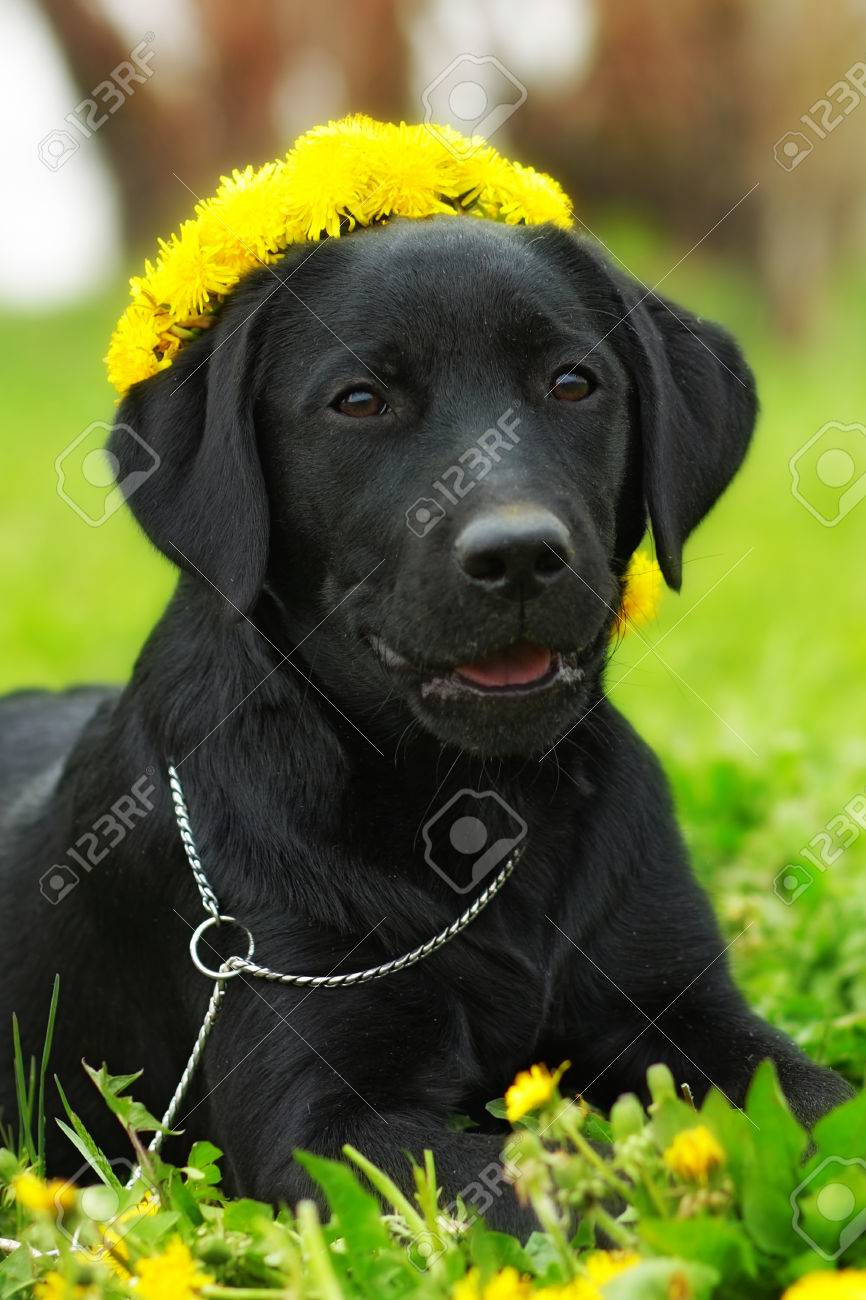 Beautiful Purebred Labrador Puppy Lying On The Grass In The Summer
