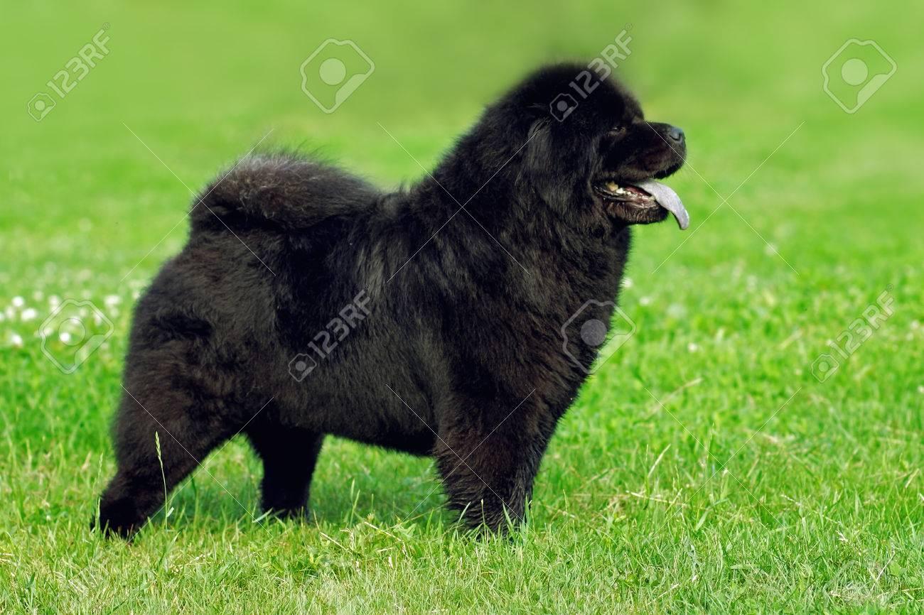 Brilliant Schöne Hunderassen Referenz Von Schöne Hunderasse Chow Chow Seltene Schwarze Farbe