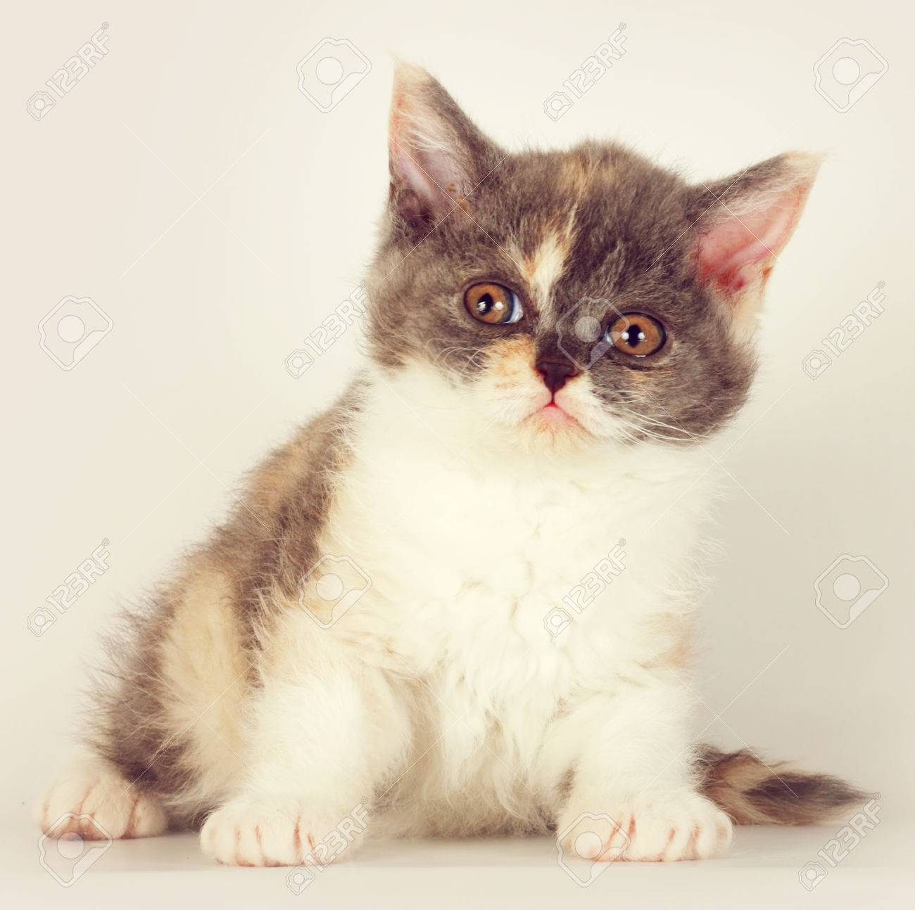 Cute Kitten Breed Selkirk Rex Cat Sitting A Light Gray