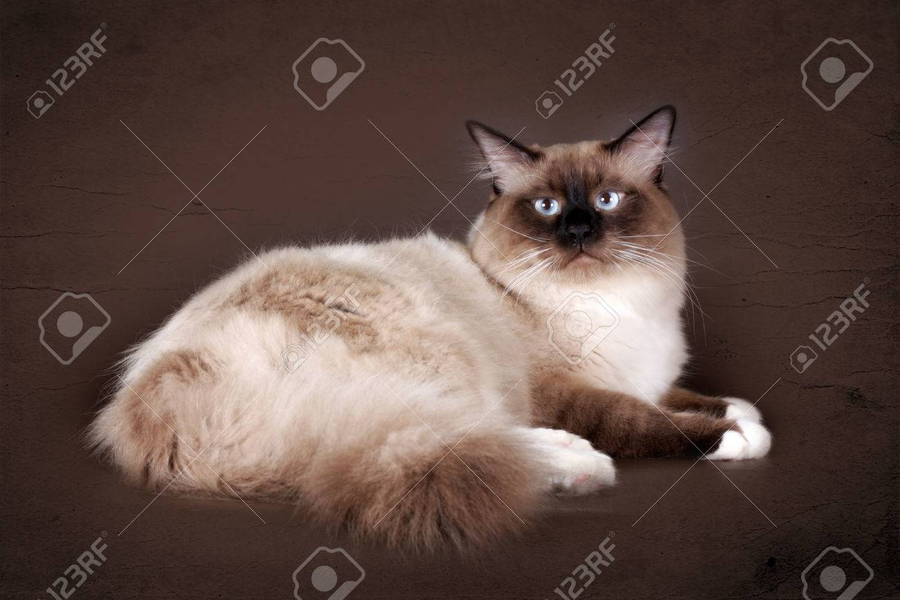 beautiful cat breed Neva masquerade on a brown background in the Studio, a good pet for the family, - 66915606