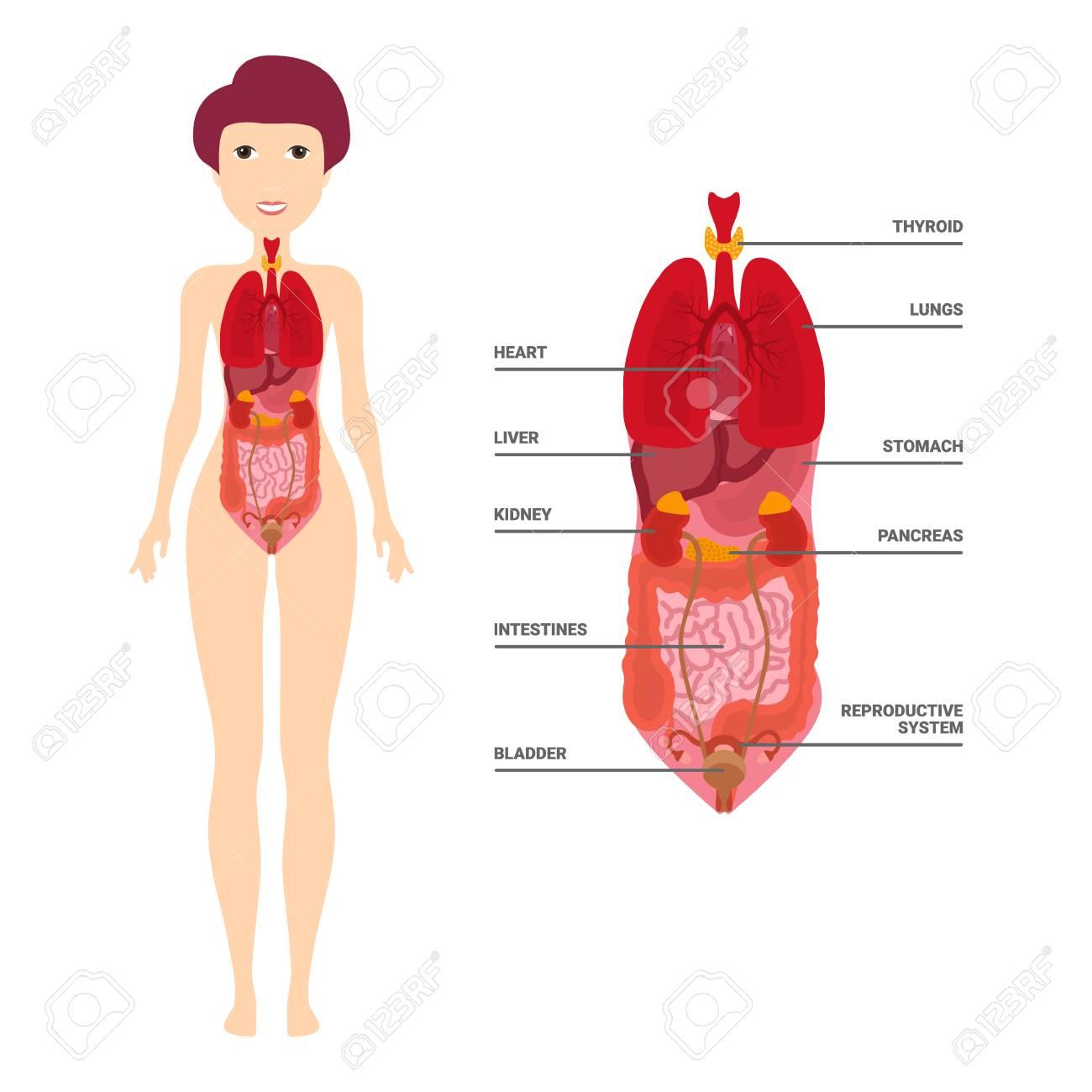 Female Human Anatomy Internal Organs Diagram Physiology Structure