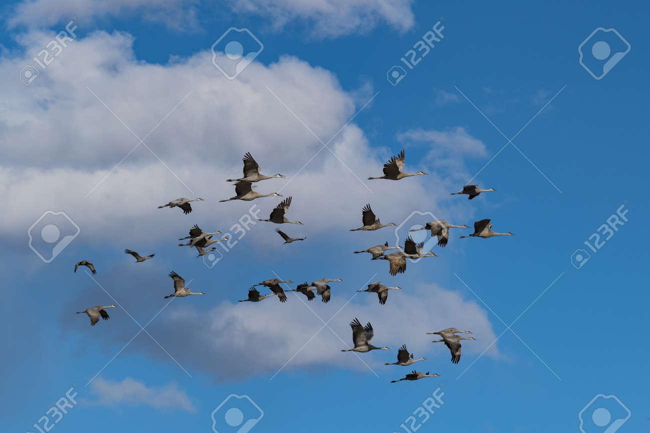 Sandhill Cranes during the Spring migration in Monte Vista, Colorado. - 169031146