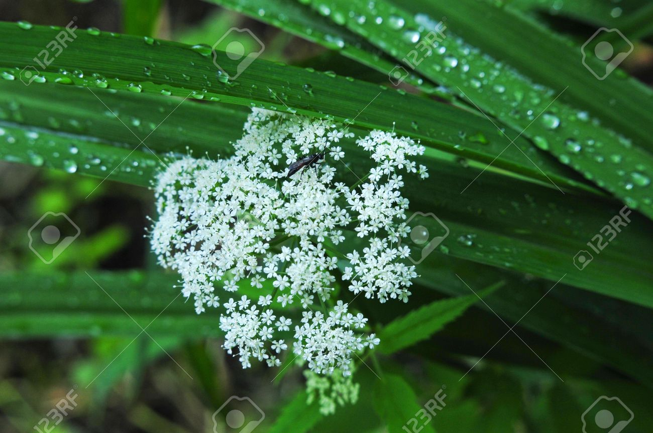 Leaves of the plant lily caraway white flowers genus of perennial leaves of the plant lily caraway white flowers genus of perennial or biennial plants umbelliferae dhlflorist Image collections