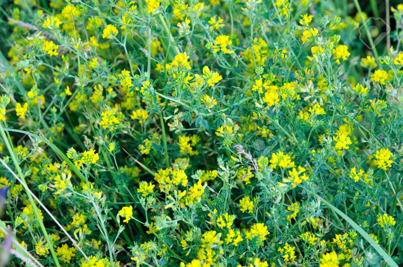 Lucerne alfalfa medicago lupulina normally an annual herbaceous lucerne alfalfa medicago lupulina normally an annual herbaceous plant species of the genus mightylinksfo