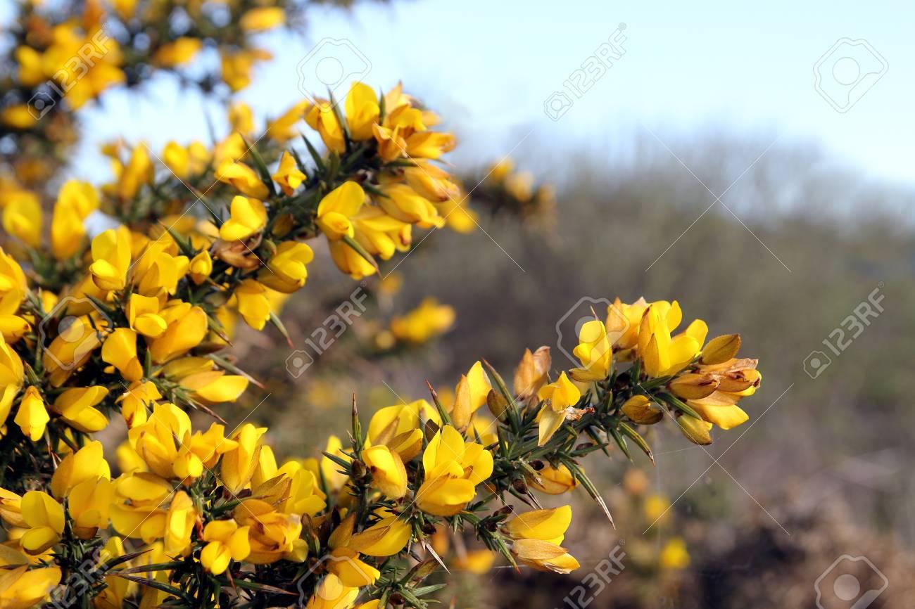 Flowering common gorse ulex europaeus a spiky thorn covered flowering common gorse ulex europaeus a spiky thorn covered plant with bright yellow mightylinksfo Gallery