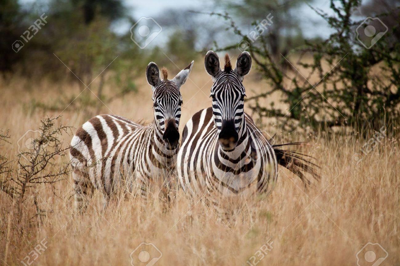 Zebras in the high grass of the savanna, Serengeti National Park, Tanzania - 16155506