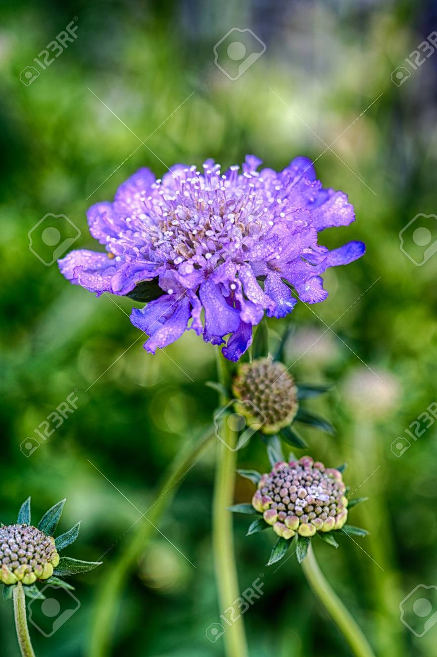 A Detail Shot Of A Scabiosa Or Pincushion Flower Stock Photo