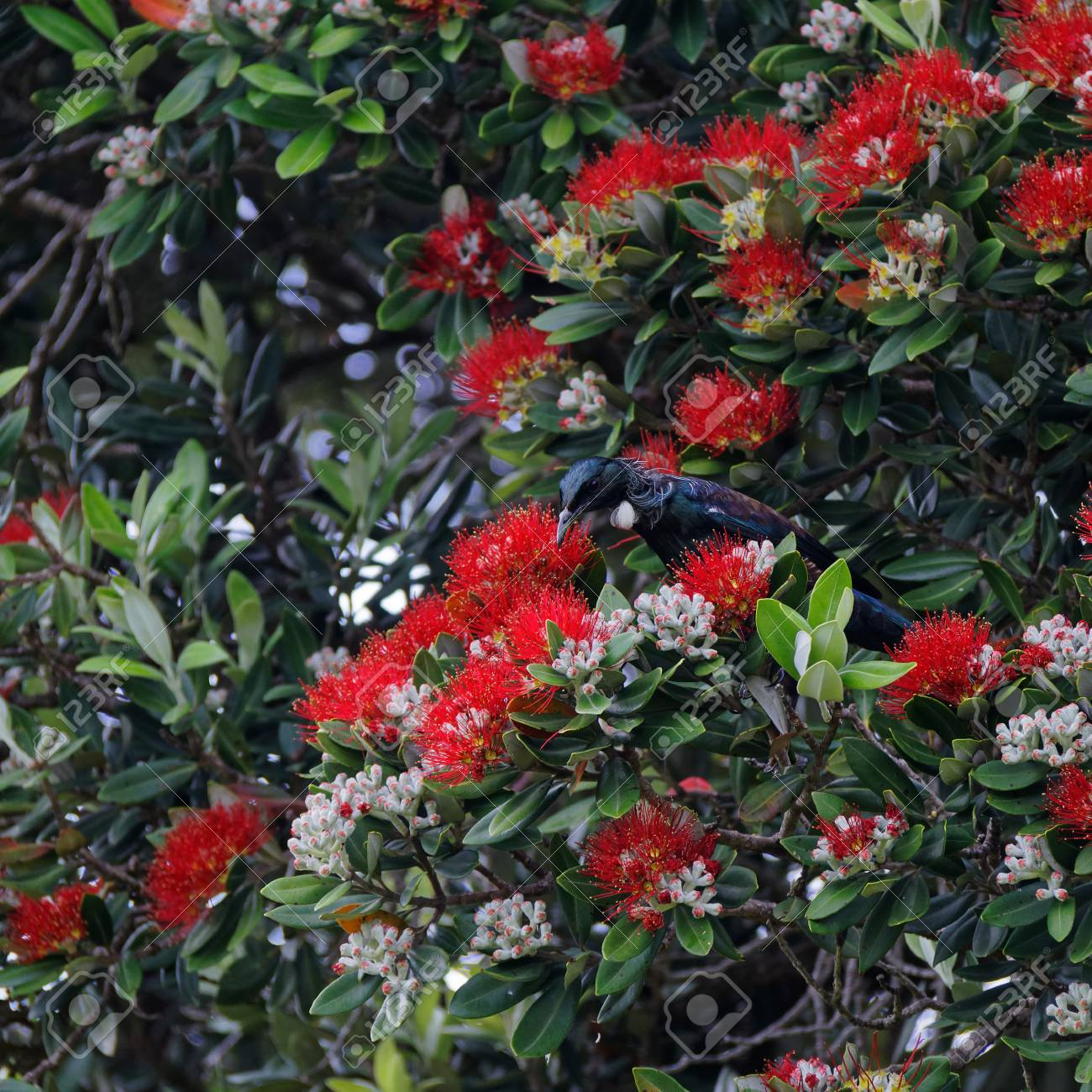 New Zealand Christmas Tree.Tui Drinking Nectar From A Pohutukawa Tree The New Zealand Christmas