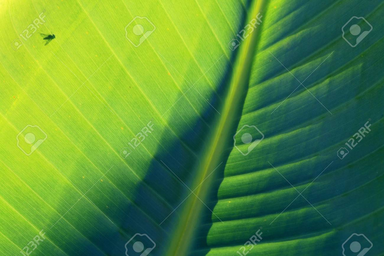 The Fly on the banana leaf Stock Photo - 16671011