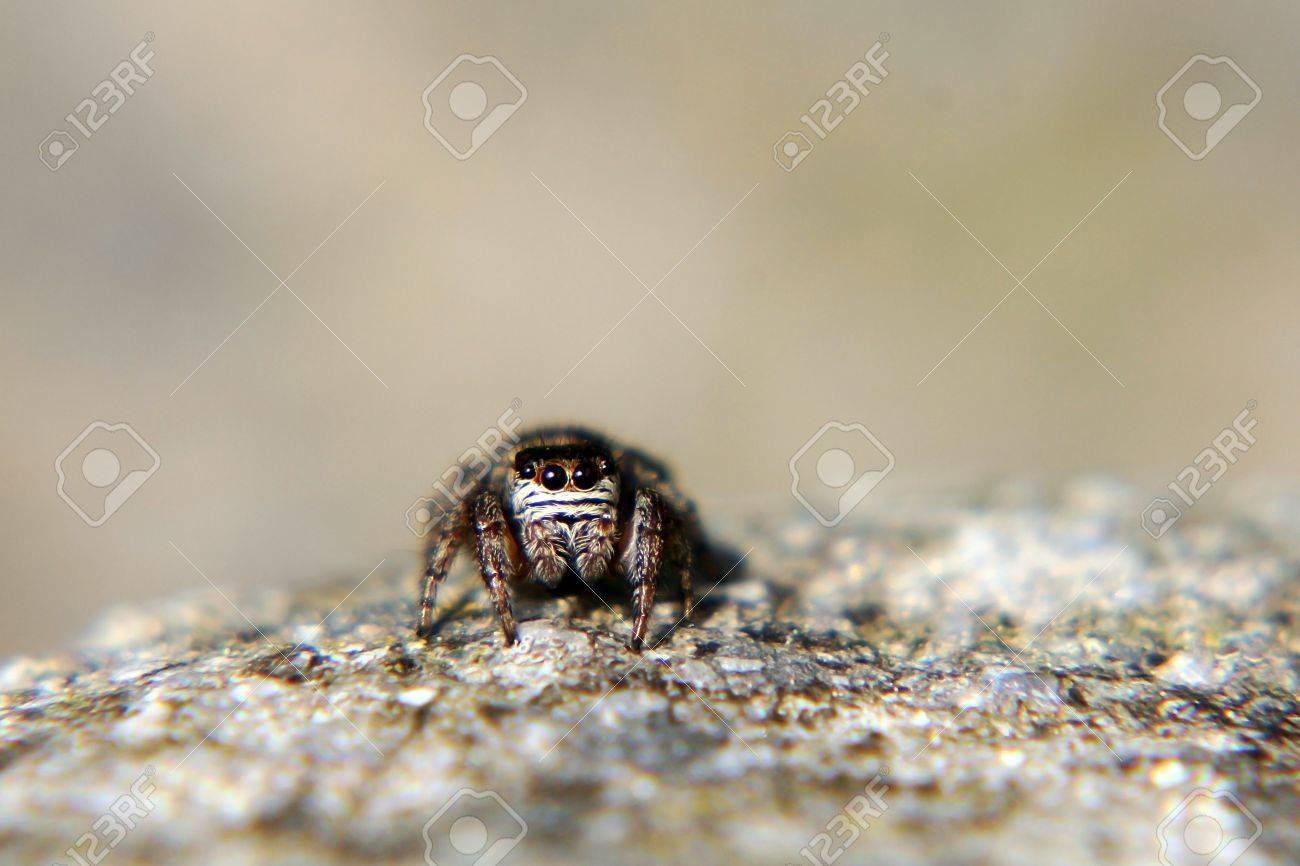 A zebra spider to catch prey Stock Photo - 16934720