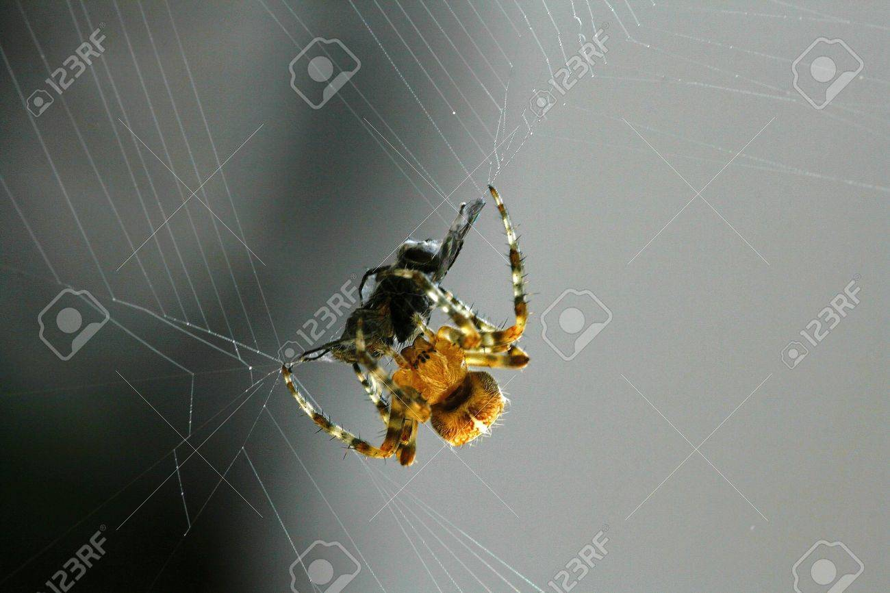 A small spider with big booty Stock Photo - 16949523