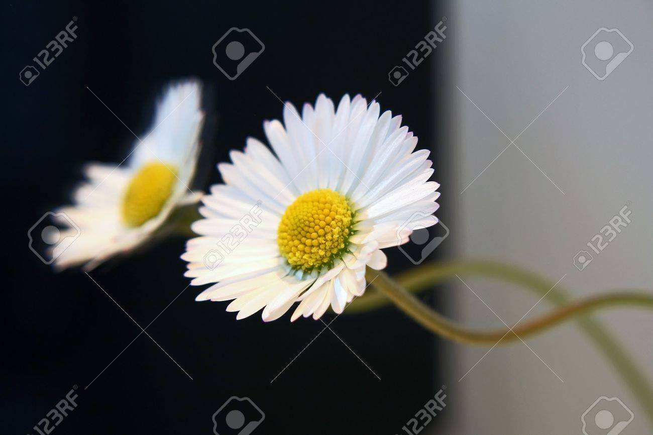 The double daisy stock photo picture and royalty free image image stock photo the double daisy izmirmasajfo