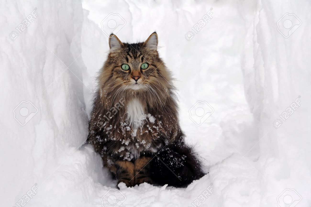 norwegian forest cat in the snow stock photo picture and royalty