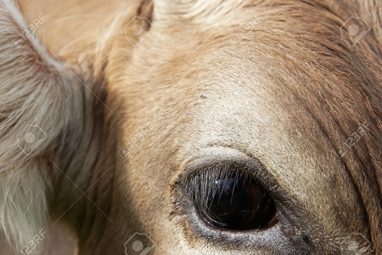 Close Up Of The Eye Of A Young Cow Eyelashes And Eyes Of A Cow