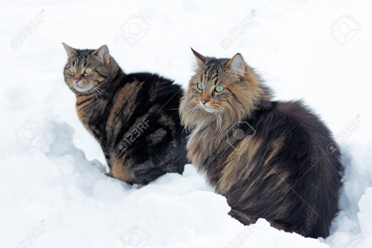 Two cats sitting together in snow Curious