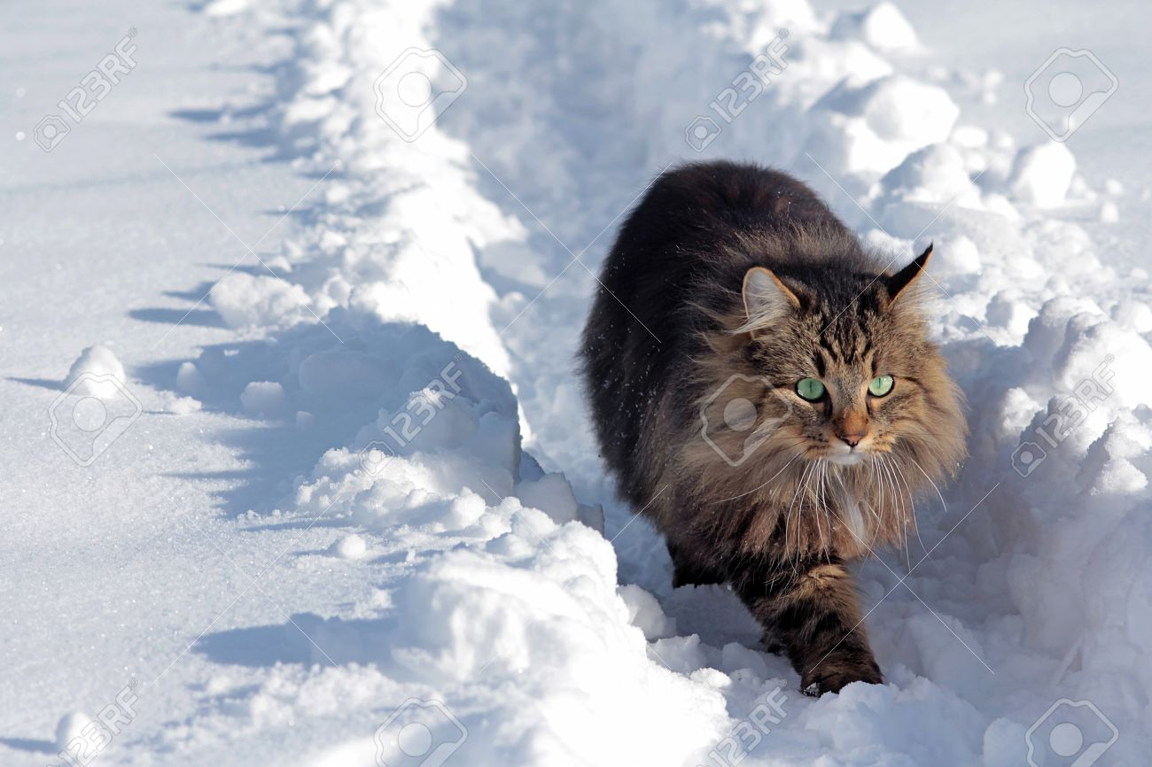a young norwegian forest cat running through the snow stock photo