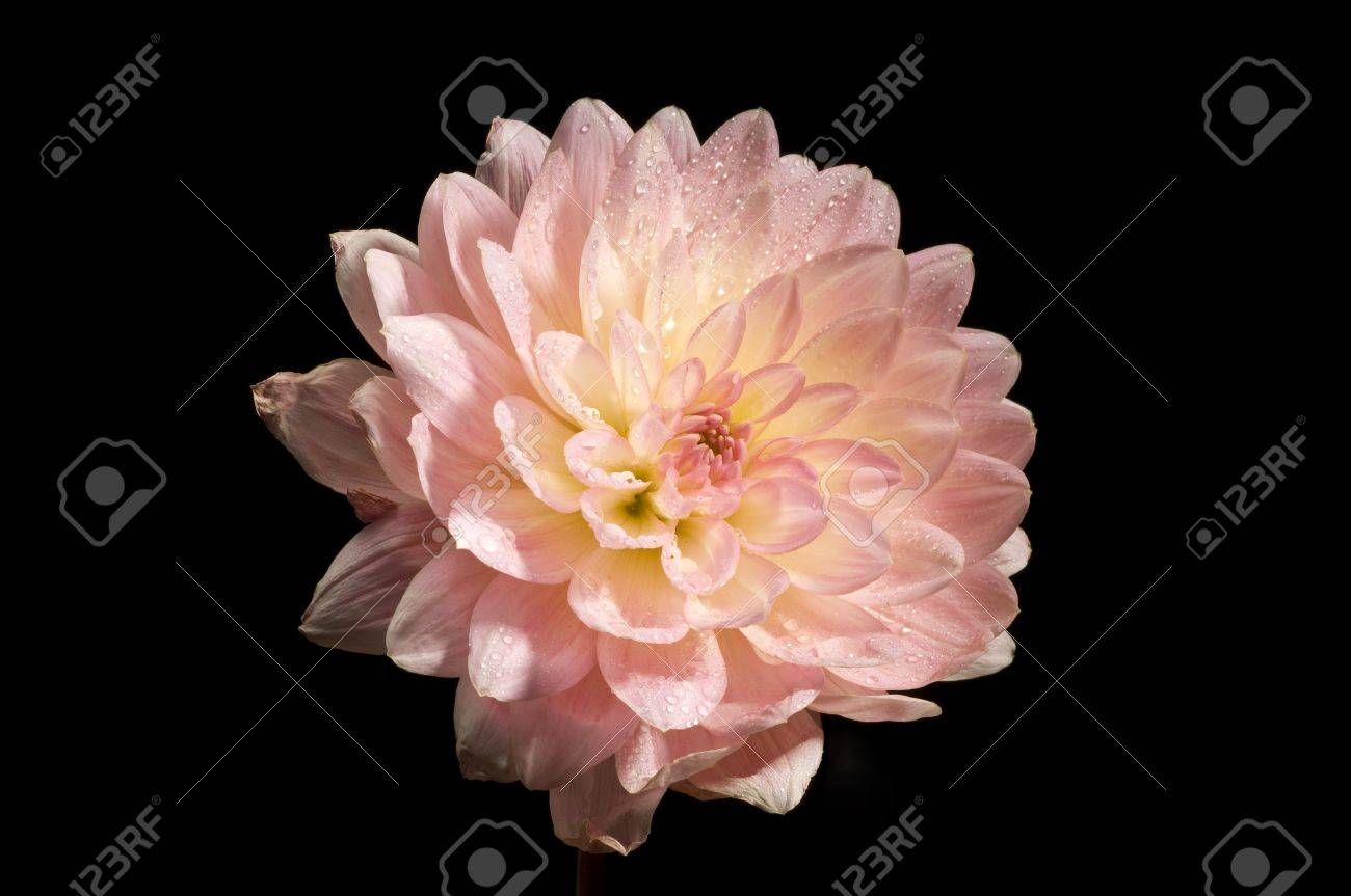 Close up picture of Painted Desert dahila flower against black background Stock Photo - 3586050
