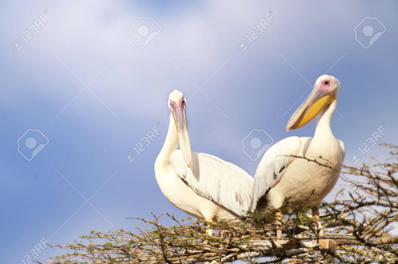 Two Pelicans  (Pelecanus Onocrotalus) sitting on top of tree Stock Photo - 4736092