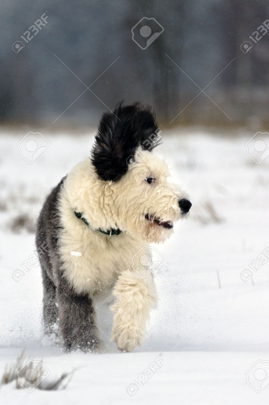 Old English Sheepdog puppy run in open snowy field on the edge