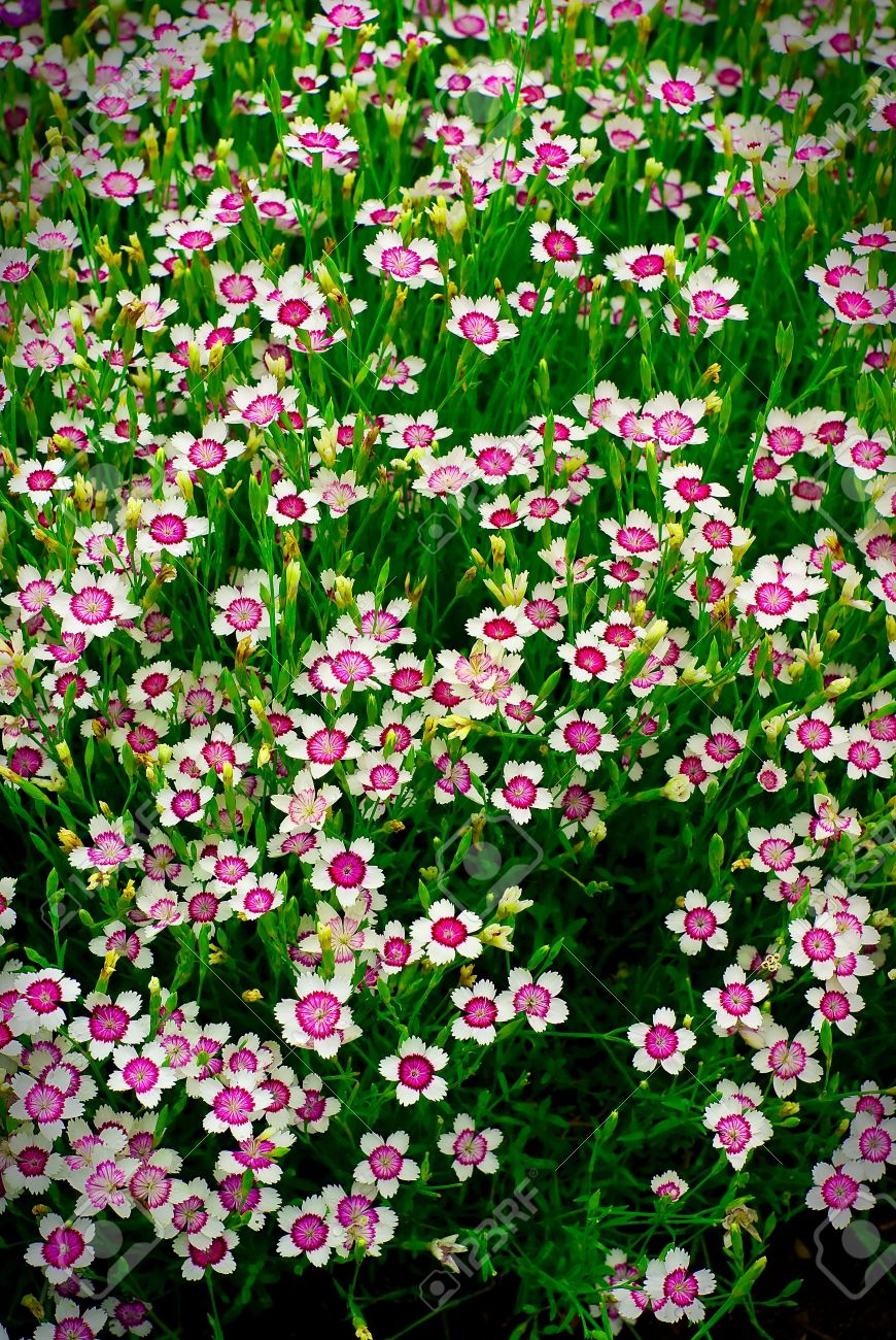 A large group of many small white and purple flowers phlox stock a large group of many small white and purple flowers phlox spread out through izmirmasajfo