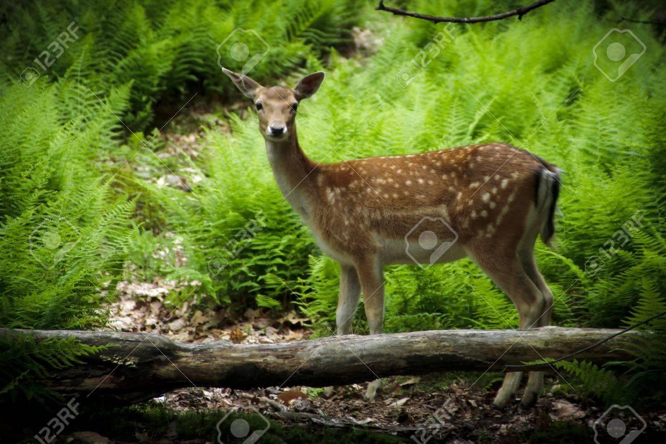 A young fallow deer (Dama dama) fawn in its natural habitat - 9944924