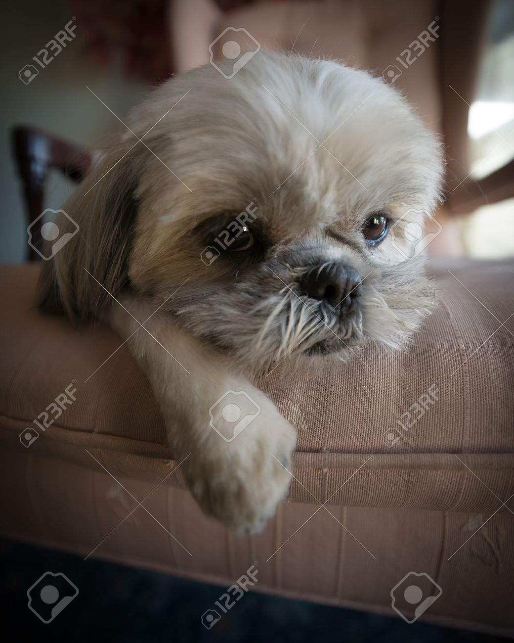 Close-up of a very cute, small, white Shih Tzu puppy dog lazed on a large chair. Stock Photo - 19663712